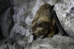 Sovande fladdermus