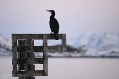 Fågel en vinterkväll