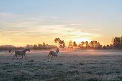 Hästar i gryningen