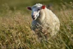 Lamm i grönskan